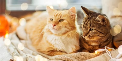 Do you prefer short-haired cats or long-haired cats?